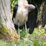 Marabou Storks (13) (Small)