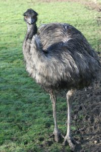 Emu Arrival at Birdland
