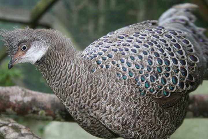 Grey Peacock Pheasant 17 Small 1 - Grey Peacock Pheasant