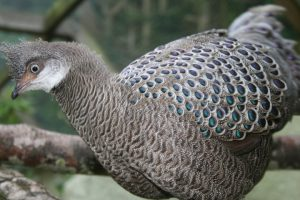 Grey Peacock Pheasant (17) (Small)