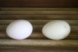 Grey peacock eggs