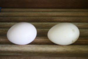 Grey peacock eggs