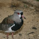 Southern Lapwing 1 Small 150x150 - 7th of March 2014 - Species Spotlight Southern Lapwing