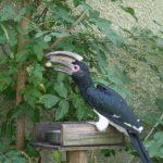 Trumpeter Hornbill (10)