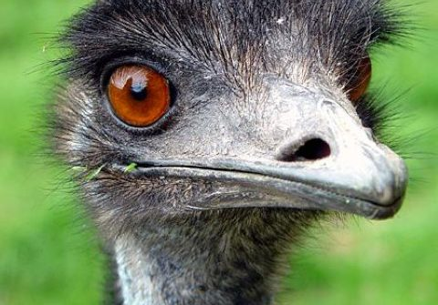 emu 1 480x335 - 21st of March 2014 - Species Spotlight - Emu