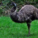 emu-15