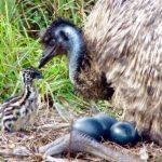 emu-nest