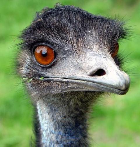 21st Of March 2014 Species Spotlight Emu Birdland