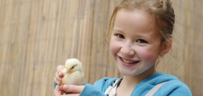 Birdland Meet Chicks at the New Hatchery 1 710x335 - What's on at Birdland for May Bank Holiday Weekend