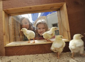 Birdland Meet Chicks in the Hatchery 300x218 - What's on at Birdland for May Bank Holiday Weekend