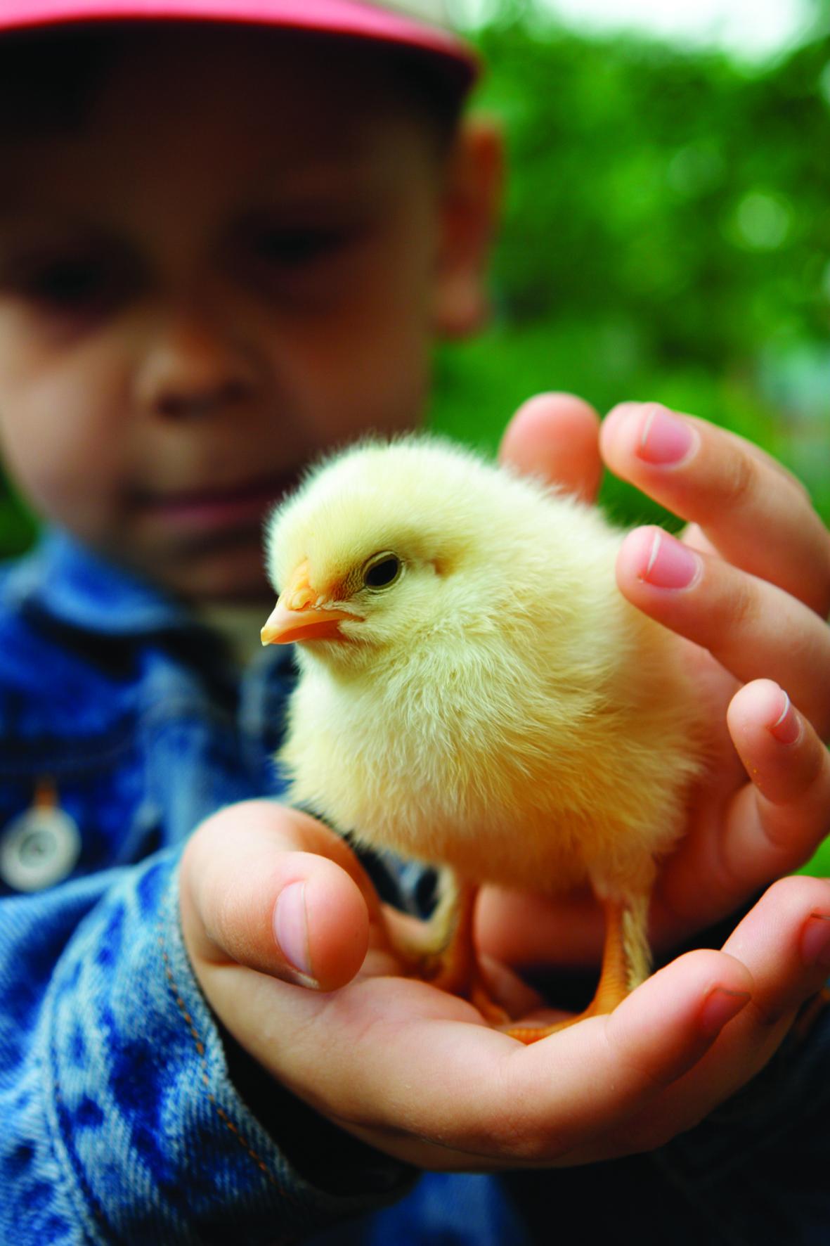 Boy with Chick at New Hatchery Birdland 1 - Enjoy a cracking time at Birdland's hatchery
