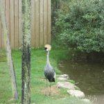 Crowned Crane (2)
