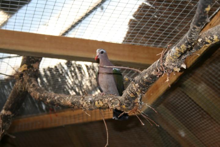 Emerald Dove 1 Small 1 - Emerald Dove