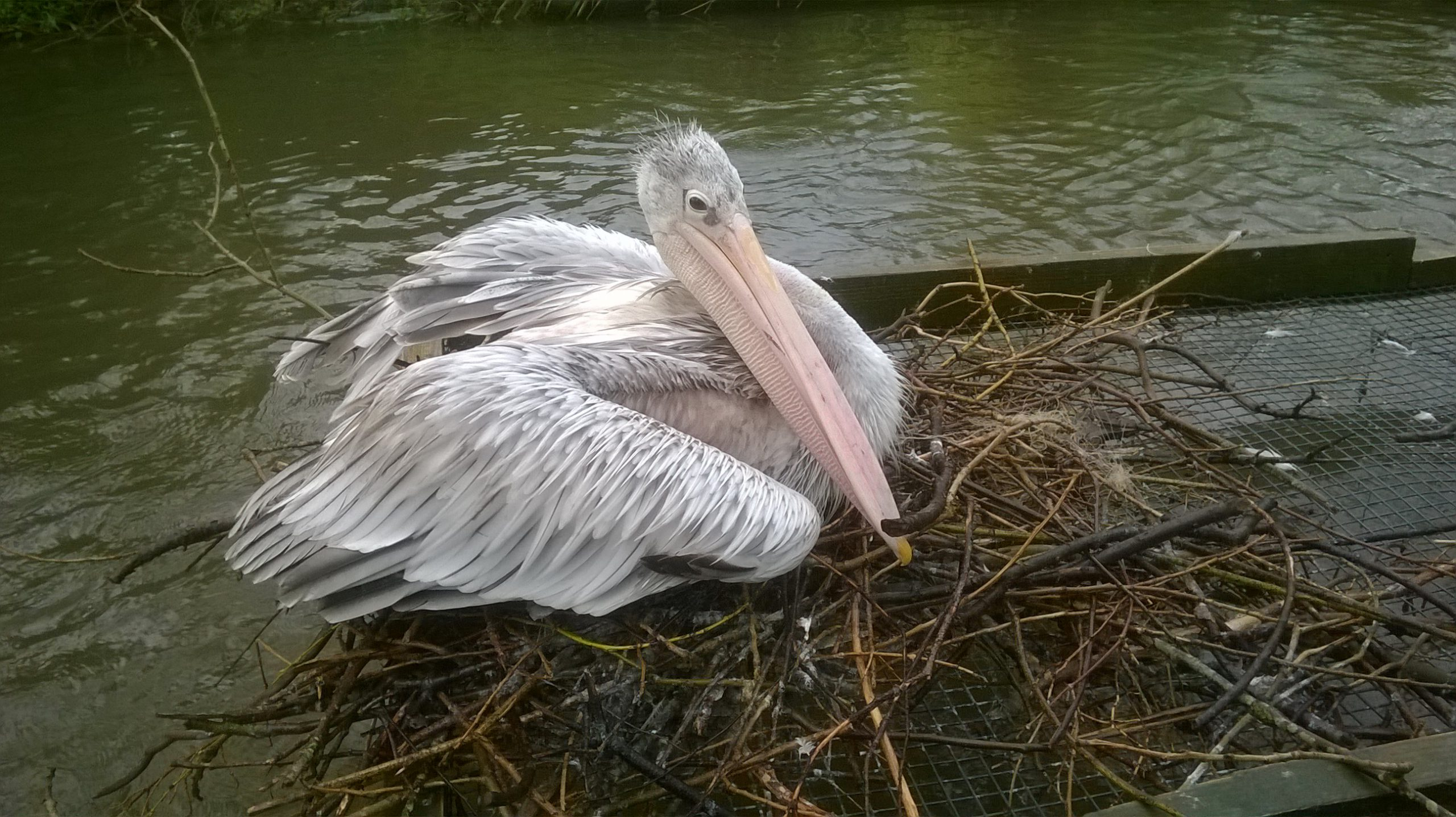 Pelican at Birdland on first egg