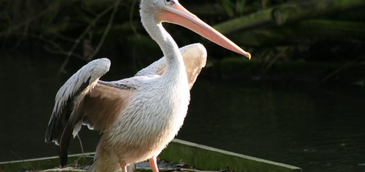 Pink Backed Pelican facts at Birdland