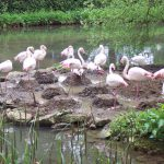 Flamingos (62)