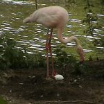 Flamingos 78 150x150 - 9th of May, 2014 - Species Spotlight - Greater Flamingo