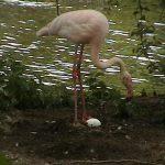 Flamingos (78)