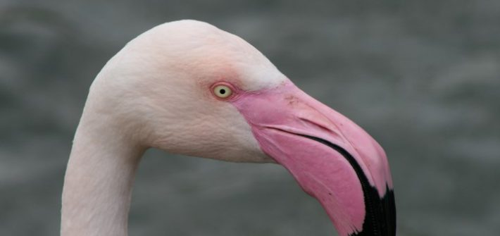 Greater Flamingo 22 1 710x335 - 11.30 Flamingo Feed