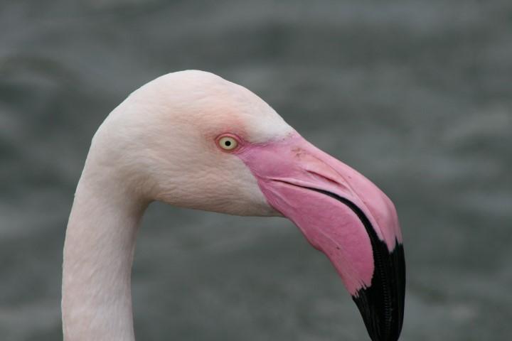 Greater Flamingo 22 1 - 11.30 Flamingo Feed