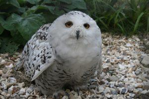 Snowy Owl (20)