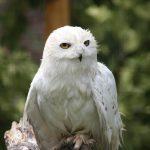 Snowy Owl (7)