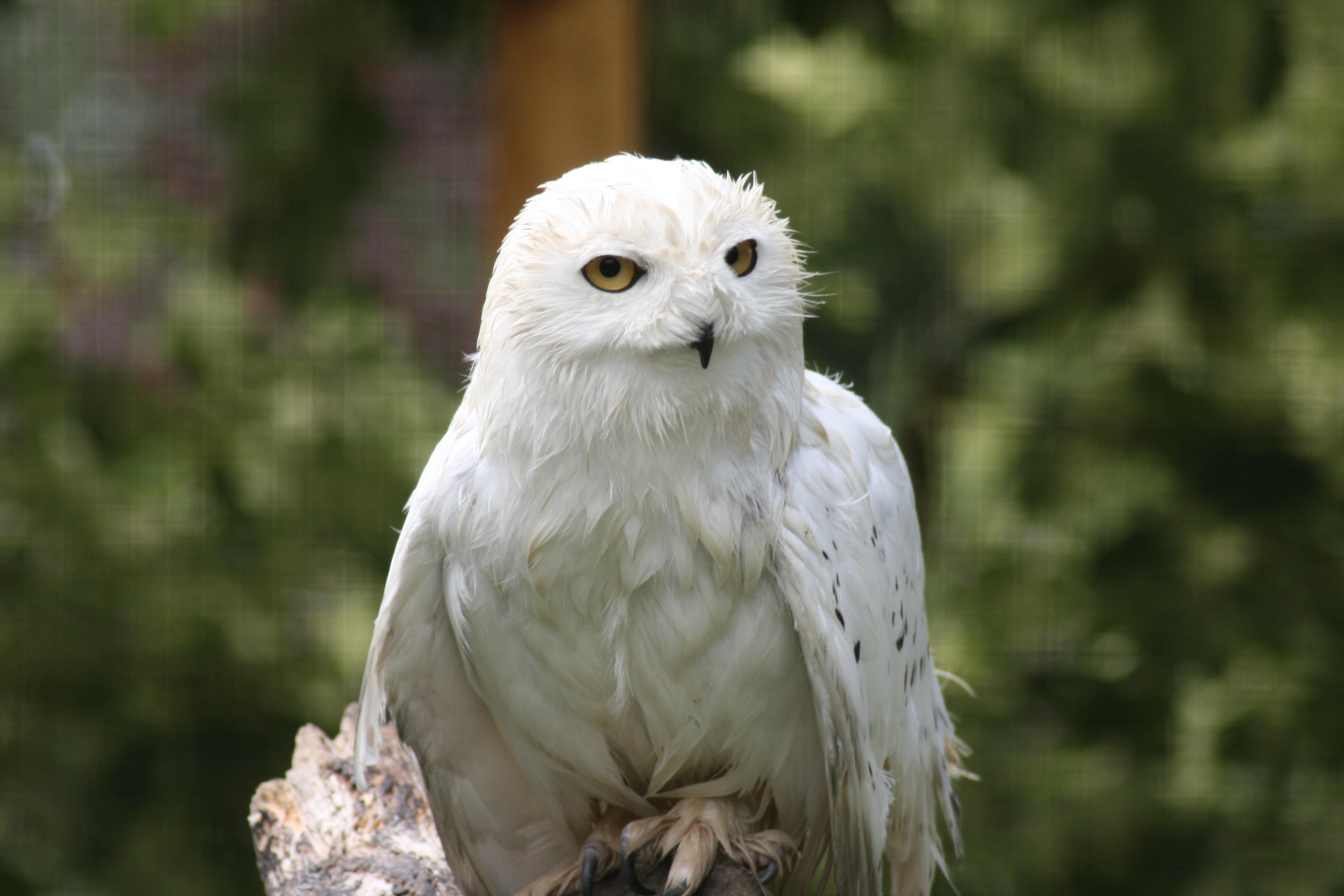 Species Spotlight - Snowy Owls - Birdland Park & Gardens
