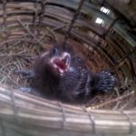 Red Crested Touraco chick