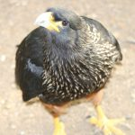 Striated Caracara (1)