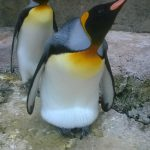 King Penguins Lily and Frank at Birdland Park and Gardens