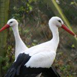 White Stork 2 1 150x150 - White Stork
