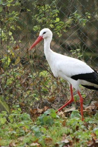 White Stork 3 1 - 18th of July 2014 - Species Spotlight White Stork
