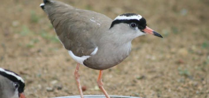 Crowned Plover 4 1 710x335 - 15th of August 2014 - Species Spotlight Crowned Plover