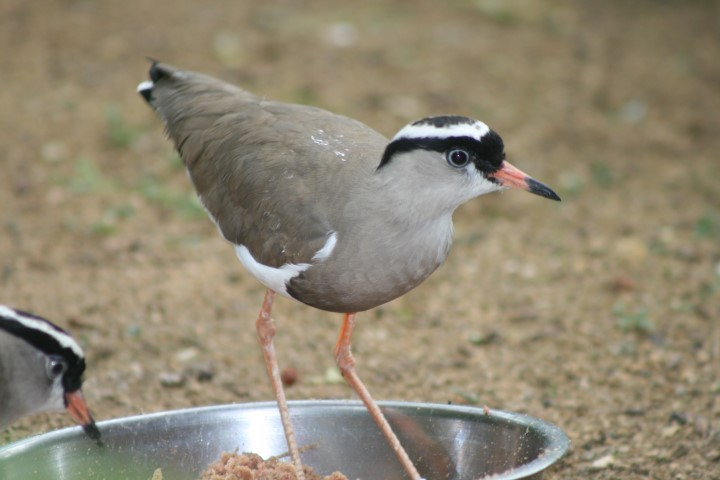 Crowned Plover 4 1 - 15th of August 2014 - Species Spotlight Crowned Plover