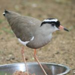 Crowned Plover (4)