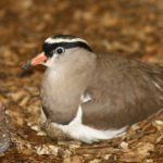 Crowned Plover 7 150x150 - 15th of August 2014 - Species Spotlight Crowned Plover