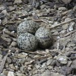 Crowned Plover nest