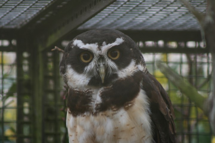Spectacled Owl 4 1 - 1st of August, 2014 - Species Spotlight - Spectacled Owl