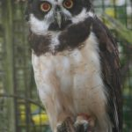 Spectacled Owl (6)