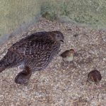 Tragopan Chicks