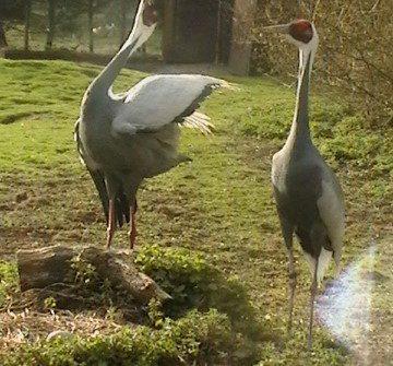 White Naped Crane 1 1 360x335 - 29th of August 2014 - Species Spotlight - White Naped Crane