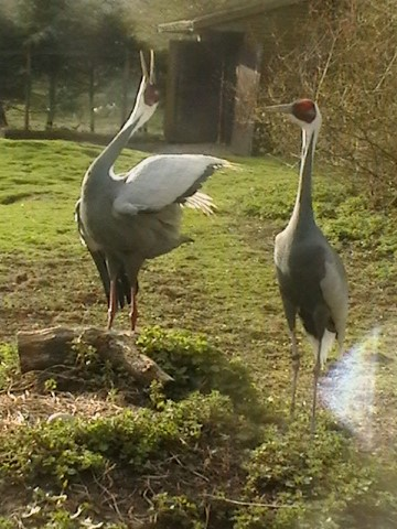 White Naped Crane 1 1 - 29th of August 2014 - Species Spotlight - White Naped Crane