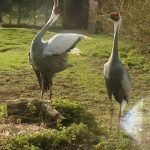 White Naped Crane 1 150x150 - 29th of August 2014 - Species Spotlight - White Naped Crane