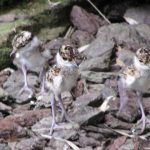crowned plover chicks