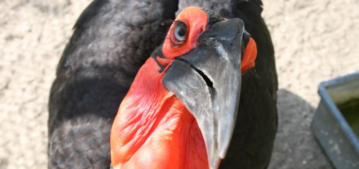 Southern Ground Hornbill 6 1 710x335 - 26th of September 2014 - Species Spotlight Southern Ground Hornbill