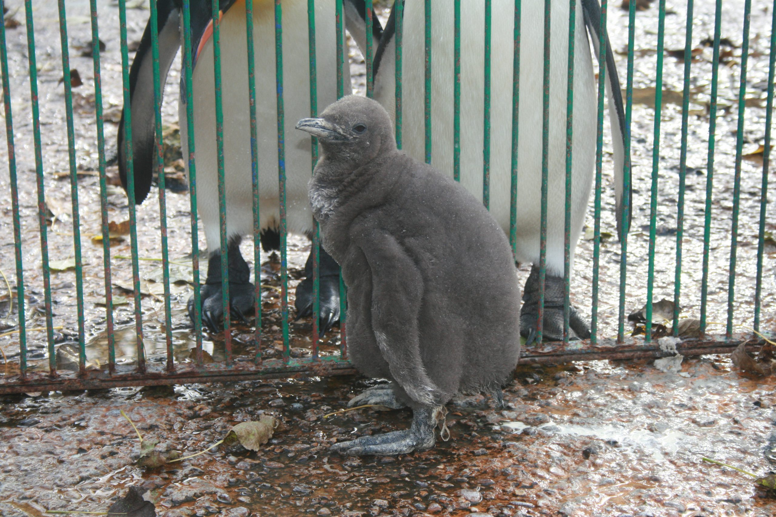 IMG 8137 1 scaled - 17th of October 2014 - Species Spotlight King Penguin Chick 2