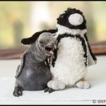 King penguin chick with cuddly penguin toy at Birdland Park & Gardens PIC BNPS
