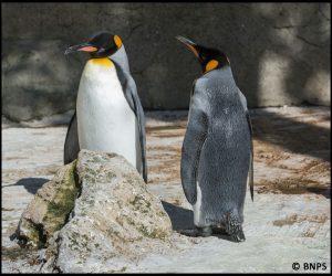 Proud king penguin parents at Birdland Park & Gardens PIC BNPS