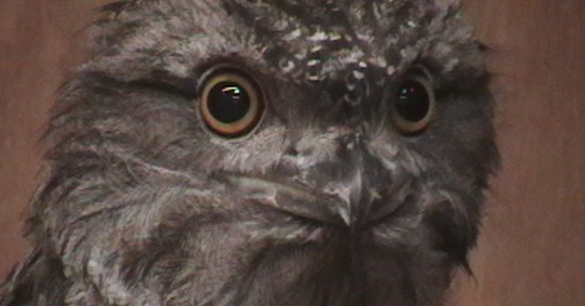 Tawny Frogmouth 13 1 640x335 - 10th of October 2014 Species Spotlight - Tawny Frogmouth