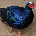 Edwards Pheasant 1 150x150 - 7th of November 2014 - Species Spotlight Edward's Pheasant